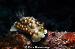 Geometric Chromodoris. Nikon D90, 60mm, f/16, 1/100, ISO-... by Mark Hoevenaars 